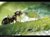 Ant tending aphid