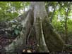 Panorama: rainforest with giant fig
