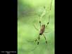 Spider sexual dimorphism