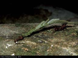 Two leaf cutter ants carrying leaf, Costa Rica
