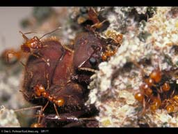 Leaf cutter ant queen in nest
