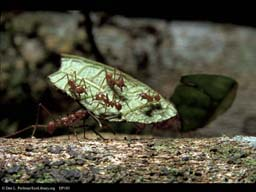 Leaf cutter ant riders on leaf, Costa Rica