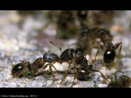 Ants competing for territory, Massachusetts