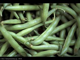Green beans, Phaseolus vulgaris