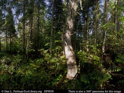 Panorama of Boreal forest Québec