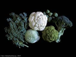 Brassica oleracea, cauliflower, broccoli