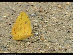 "Butterfly ""puddling"" to obtain minerals, Brazil"