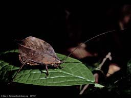Camouflaged brown katydid at night