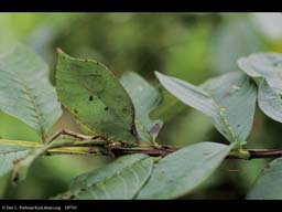 Camouflaged katydid leaf mimic