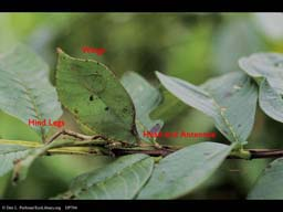 Camouflaged katydid leaf mimic with text