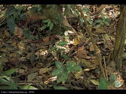 Camouflaged fer-de-lance snake circled