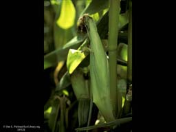 Corn or maize, Zea mays, developing cob