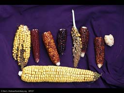 Corn or maize, Zea mays, variation