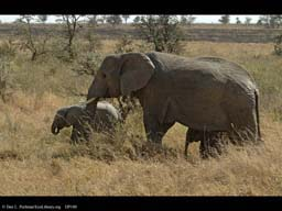 Parental behavior, elephant with babies, Serengeti, Tanzania