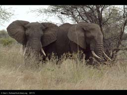 Pair of male elephants touching, Tanzania