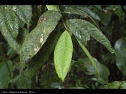 Epiphylls on young and old rainforest leaves, Brazil
