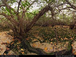 Panorama of Mangrove, Galápagos Islands