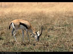 Thomson's gazelle in grassland after burn, Tanzania