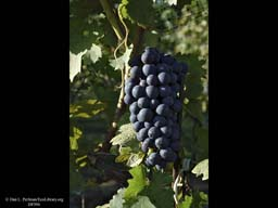 Grapes for wine, Long Island, New York, USA