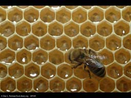 Honeybee nest showing honey cells
