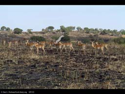 Impala herd on edge of burned grassland, Tanzania