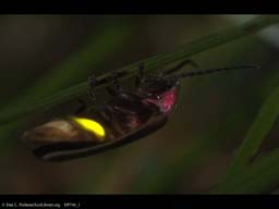 Luminescence: adult Firefly, Massachusetts, USA