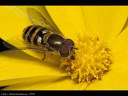 Hover fly mimic on yellow flower