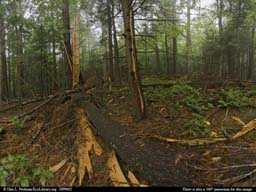 Panorama of Massachusetts pine tree exploded by lightning