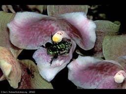 Pollination: orchid bee entering orchid, Costa Rica
