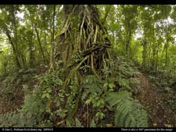 Panorama of Rainforest strangler fig tree