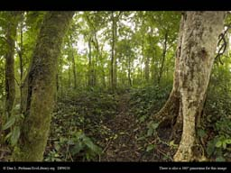 Panorama of Rainforest trees with and without epiphytes
