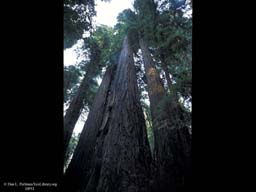 Redwoods forest, looking up, California