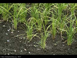 Rice, Oryza sativa
