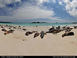 Panorama of sea lions on beach, Galápagos Islands