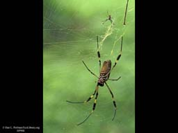 Sexual dimorphism: Golden silk spider, Costa Rica