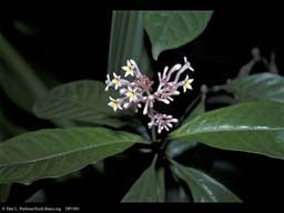 Snakeroot, sedative and hypertension fighter, India