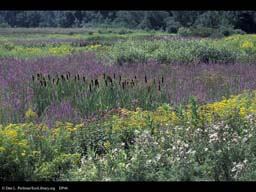 Swamp with cattails and loosestrife, Massachusetts