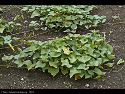Sweet potato, Ipomoea batatas