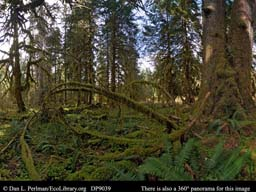 Panorama of Temperate rainforest Olympic Peninsula Washington