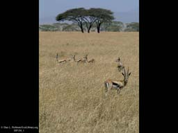 Thomson's gazelles on savanna, Tanzania