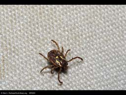 Tick on pants, Costa Rica