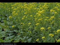 Turnip, Brassica rapa, in flower