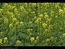 Wild turnip, Brassica rapa, in flower