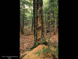 Woodpecker holes in live beech, Massachusetts, USA