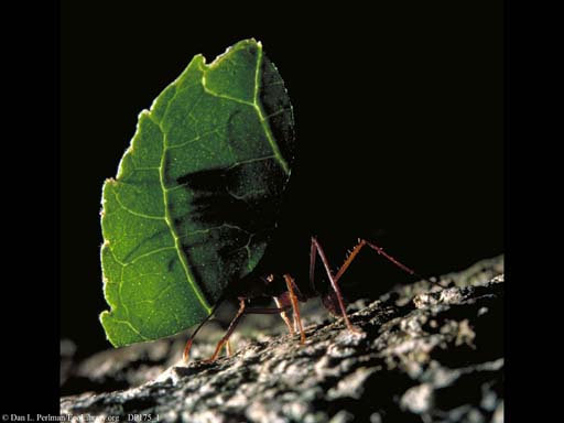 Leaf cutter ant with leaf, Costa Rica