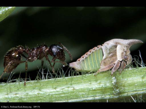 Ant and treehopper passing honeydew