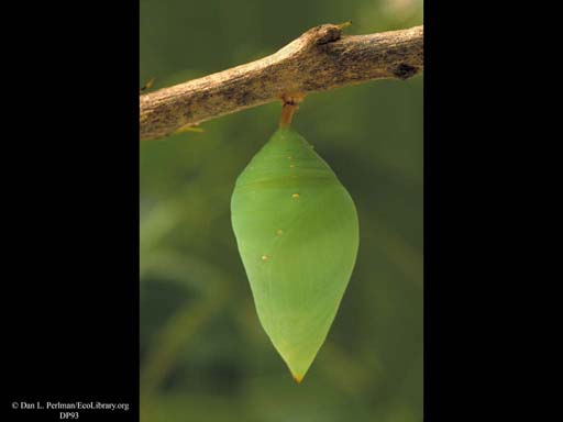 Butterfly pupa, Morpho life cycle