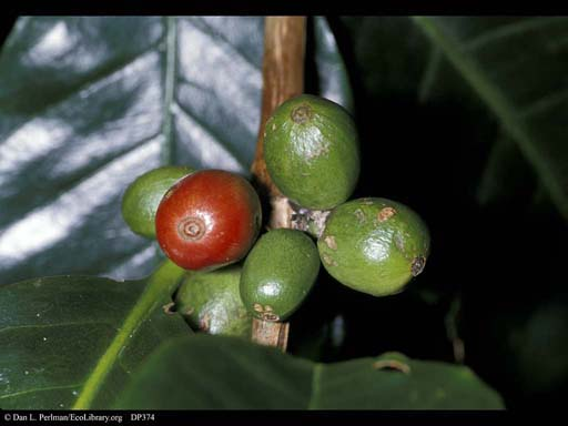 Coffee fruits, <i>Coffea arabica</i>