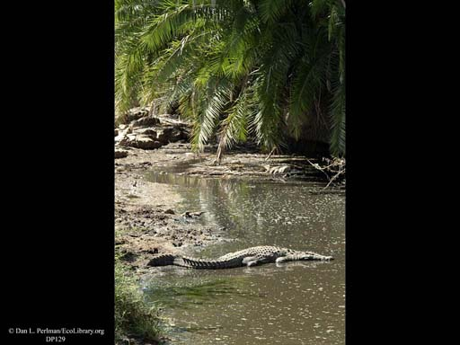 Nile crocodile in river, Tanzania