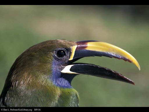 Emerald Toucanet, little cousin of toucans, Costa Rica
